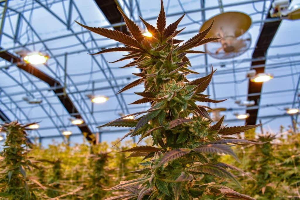 a large cannabis flower growing in an indoor marijuana garden